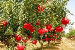 آغاز برداشت انار از باغات کردستان/ پیش بینی تولید ۱۰ هزار تن محصول